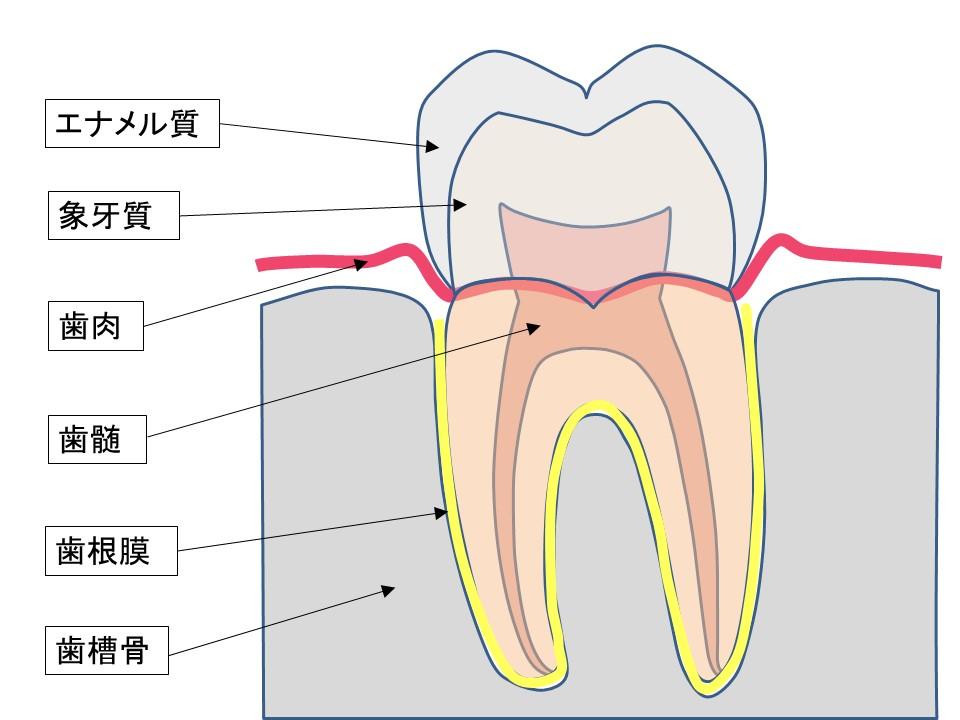 歯の絵_解剖